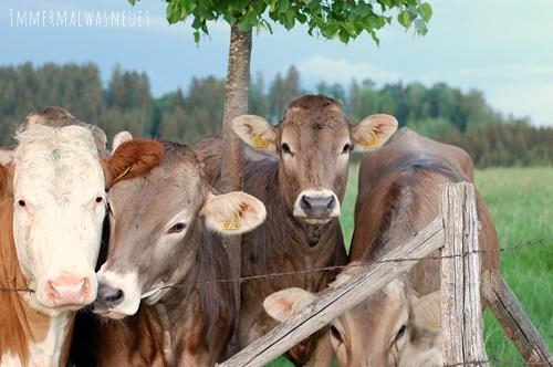 Bayern Kühe